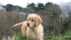 bébé golden retriever